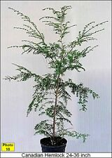 Today's Special - Four Canadian Hemlocks 2' In Height