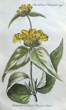 Broad a foglie di salvia ORIENTALE, ORIGINALE Mano Antico Colorato Botanico Stampa 1756