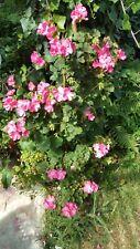 pelargonie geranie hochwachsend alte DDR Sorte rar selten 10 Samen pink rosa