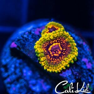 CK End Game zoanthids- frag-live coral