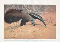 1910 Naturale Storia Stampa Double Sided Great Ant-Eater/Rosso Canguro Lydekker