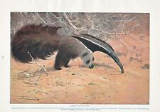 1910 NATURAL HISTORY PRINT DOUBLE SIDED GREAT ANT-EATER / RED KANGAROO LYDEKKER