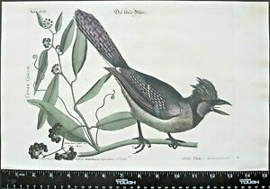 CatesbySeligman,Sammlung,Crested Bluejay on smilax branch,handc.engr.c,1749