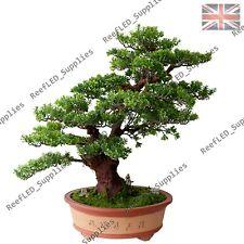 RARE Boxwood Bonsai Tree (Buxus sempervirens) 10 Viable Seeds - UK Seller