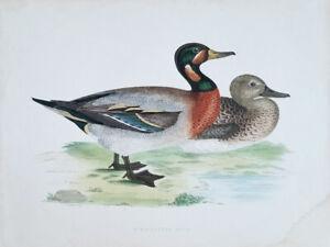 Beverly-Morris-British-Game-Birds-Bimaculated-Duck-1885