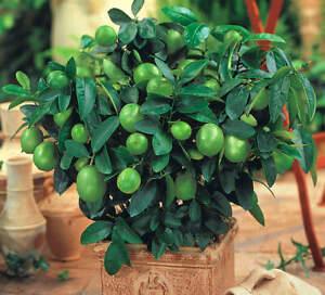 Limettenbaum Limette - Citrus Auratifolio - Größe: 20-25cm - Zitruspflanze Lime