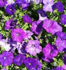 4 x SHOCK WAVE DENIM Petunia spreads to 80cm plants - 4cell seedling punnets