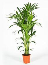 Zimmerpflanze  Kentia Palme 100-120 cm Howea Kentia Forsteriana Palme