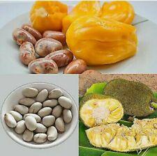 12 Organic Fresh Jack Fruit Seeds Tropical Worlds