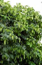 Hops, Humulus lupulus, Perennial Vine Seeds, 50 seeds