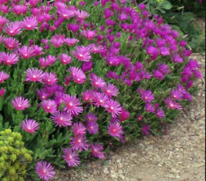 Magenta / Delosperma Coopers Hardy Ice Plant Ground cover - 5 unrooted cuttings