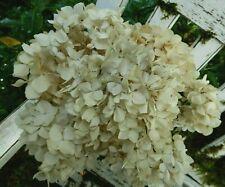 New listing 10 Dried Hydrangea Flower Antique Cream White Wedding Rustic Farmhouse Decor