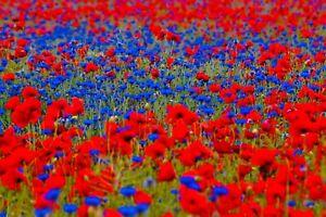 Mohnwiese Blumen WIESE Bienen🐝 Papaver Mohn Hummel Blütenmeer SOMMER Samen +5qm