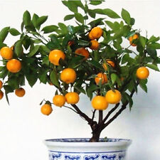 Edible Fruit Mandarin Orange Bonsai Seeds Uk Seller *DOUBLE PACK BETTER VALUE