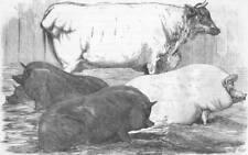 ANIMALS. Black pigs; White short-horn cow; pig, antique print, 1854