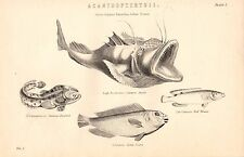 1868 PRINT ~ ACANTHOPTERYGII CRETAN SCARUS RED WRASSE ANGLER SURINAM TOAD FISH