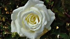 Rosa 'Remember Me' Hybrid Tea Rose, Double Bright Coppery Orange Flowers