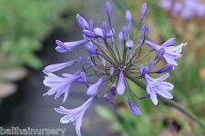 New Agapanthus Los Angeles dark blue flowers excellent garden plant