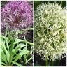 Angebot Zierlauch Samen Allium Mont Blanc und Alium Christophii Zierlauchsamen