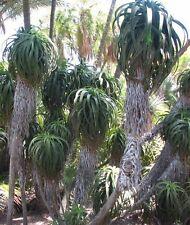 Aloe Pluridens - FRENCH ALOE VERA - 10 x Succulent Seeds
