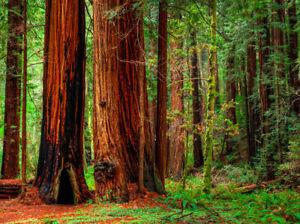 redwood COASTAL CALIFORNIA TREE sequoiadendron sempervirens 44 SEEDS! GroCo USA