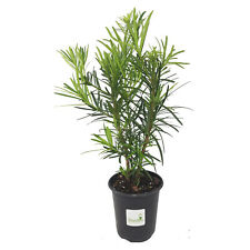 Podocarpus Macrophyllus Japanese Yew ~Lot of 12~ Quart pot