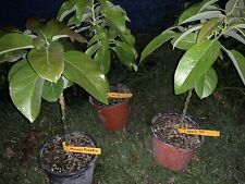 GRAFTED AVOCADO TREE  LIVE PLANT