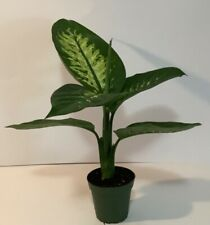 "Dieffenbachia Tropic Snow~Dumb Cane ~4""pot Beautiful Tropical Houseplant"