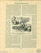 1930 Book Plate Dog Print Sketch Miss Hamilton Pom Rontgental German Shepherd