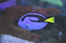 """New listing Live Saltwater Fish - 1""""-2"""" Blue Hippo Tang"""