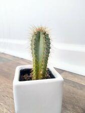 Pilosocereus azureus aka the blue Torch Cactus