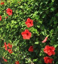 5 PZ Pianta di Hibiscus Ibiscus Cespuglio arredo giardino vaso 7