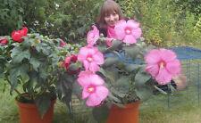 Tolle Blume : Riesen-Hibiscus sehr blühfreudig - Riesen-Blüten rot / rosa Samen