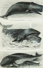 1897 Antique print Marine Mammals. Whales. Narwhale. Sea Life. Dolphin. Beluga.