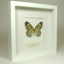 Real taxidermy butterfly mounted in white wooden frame - Idea Leuconoe Obscura