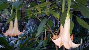 3  Angel Trumpet Peach Apricot Fragrant  Brugmansia Cuttings
