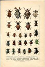 Stampa antica INSETTI COLEOTTERI COLEOPTERA 1893 Antique print insecta 17