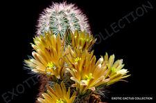 ECHINOCEREUS CHLORANTHUS @ exotic cacti rare hedgehog cactus plant seed 15 SEEDS