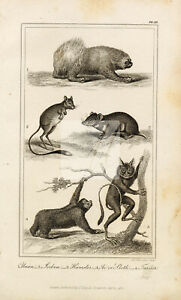 ANTIQUE Natural History Print - Unan, Jerboa, Hamster, Sloth, Tarsier #F30