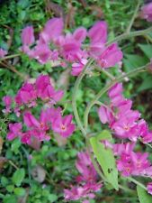 Antigonon leptopus Pink Chinese Love Vine Starter Plant Free Ship
