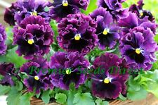 Flor Pensamiento floración invernal Frizzle chisporroteo F1 Borgoña 30 semillas