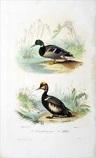 CHASSE: LE COL-VERT (canard sauvage) & LE MILOUIN - Gravure en couleur