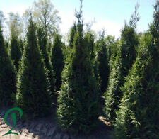 Thuja Plicata 12 x Lebensbaum 160-180 cm inkl. Versand 280,- €. Heckenpflanzen.