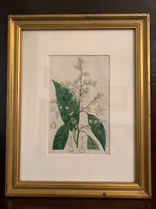 Framed Antique Original Botanical Print 1827 Ridgeway The Botanical Register