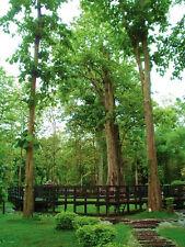 *UNCLE CHAN* 200 SEED TEAK TREE Tectona grandis Teak Hard Tree Thailand 2017 new