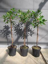 Arbutus unedo - Mini-Stamm - Erdbeerbaum - winterharte Pflanze 50-70cm
