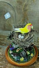 Victorian Style Taxidermy Lovebird & Nest Glass Dome Display curiosities bird