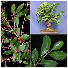 50 seeds of Ficus americana,bonsai seeds R
