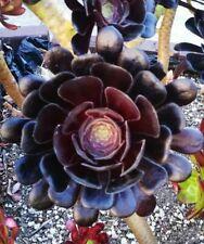 BLACK ROSE Deep Dark Purple Aeonium Arboreum Zwartkopf Succulent 1 cutting
