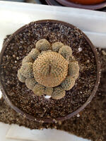 Aylostera heliosa cactus planta esqueje sin raiz